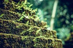 Фото показывая яркий ый-зелен мох на старом камне в тропическом лесе острова Бали Крупный план мха в джунглях Стоковое фото RF