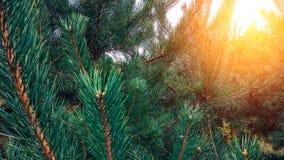 Фото показывая яркую вечнозеленую сосну Маленький крошечный красочный новый рост конуса ели на завтрак-обеде Макрос, конец вверх Стоковые Изображения
