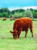 Фото показывая milky коричневого симпатичного табуна коров Коровы пасут дальше Стоковые Фотографии RF
