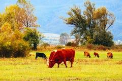 Фото показывая milky коричневого симпатичного табуна коров Коровы пасут дальше Стоковое Фото