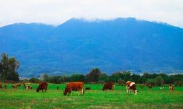 Фото показывая milky коричневого симпатичного табуна коров Коровы пасут дальше Стоковая Фотография