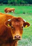 Фото показывая milky коричневого симпатичного табуна коров Коровы пасут дальше Стоковые Изображения RF
