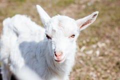Фото портрета малой козы Славное и красивое животное Hatchling козы стоковое изображение rf