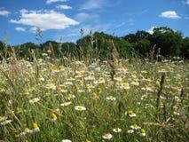 Фото поля предпосылки ландшафта лета сельского с белыми маргаритками и травой Стоковое Изображение RF
