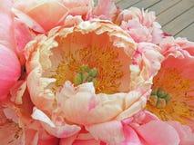 Фото принятое в лето Розовые цветки пиона, чувствительные цветки для Стоковая Фотография RF