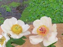 Фото принятое в лето Розовые цветки пиона, чувствительные цветки для Стоковая Фотография