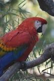 Фото природы попугая ары шарлаха сидя в дереве Стоковые Изображения RF