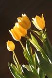 Фото пука желтых тюльпанов против черной предпосылки Стоковое Изображение RF
