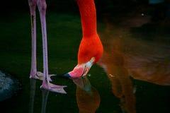 Фото розовой питьевой воды фламинго Стоковые Фотографии RF