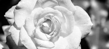 Фото розы апельсина на зеленой предпосылке листвы черно-белой Стоковая Фотография