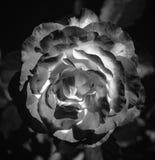Фото розы пинка на зеленой предпосылке листвы черно-белой Стоковые Изображения RF