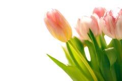 Фото свежих запачканных розовых тюльпанов Стоковое фото RF