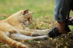 Фото случайного фотографа кота новое, принимает фото милого желтого кота стоковое фото rf
