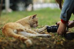 Фото случайного фотографа кота новое, принимает фото милого желтого кота стоковое изображение
