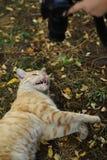 Фото случайного фотографа кота новое, принимает фото милого желтого кота стоковые изображения