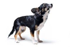 Фото собаки терьера игрушки стоя и смотря вверх изолированный на белой предпосылке стоковая фотография