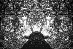 Фото старого дерева в зеленом лесе черно-белом Стоковые Фотографии RF