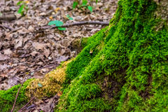 Фото старого дерева с мхом в зеленом лесе Стоковое Фото