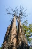 Фото сухого дерева с голубым небом Стоковые Изображения