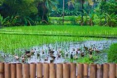 Фото террасы риса, Бали, Индонезии горизонтально Стоковое Изображение