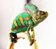 Фото хамелеона Стоковые Изображения RF