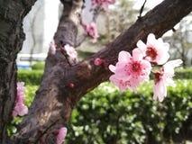 Фото цветения персика близкое весной стоковые фото