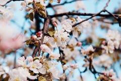 Фото цветения яблока Весна, солнечность, счастье стоковое фото