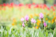 Фото цветения alismatifolia куркумы Стоковая Фотография RF