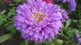 Фото цветка астры Terry стоковая фотография rf