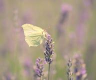 Фото цветка бабочки и лаванды Стоковая Фотография