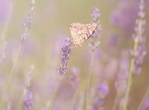 Фото цветка бабочки и лаванды Стоковое Фото