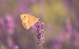Фото цветка бабочки и лаванды Стоковое Изображение