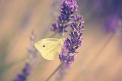 Фото цветка бабочки и лаванды Стоковое Изображение RF