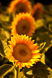 Цветок Солнця Стоковые Изображения RF