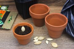 Фото цветочных горшков пакета почвы, керамических и черных пластичных для семян заводов, тыквы, сквоша и цукини готовых для plant Стоковое Изображение