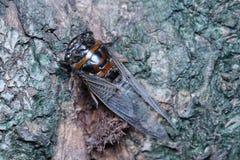 Фото цикады близкое поднимающее вверх Стоковое Изображение RF