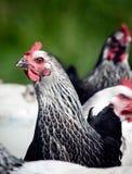 Фото цыпленка Стоковые Изображения