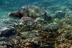 Фото черепахи моря Стоковое Изображение RF
