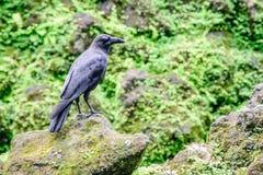 фото черной вороны на камне Стоковое Фото