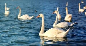 Фото чудесных лебедей Стоковое фото RF