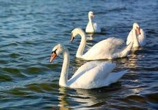 Фото чудесных лебедей Стоковое Фото