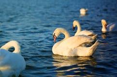 Фото чудесных лебедей Стоковые Фотографии RF