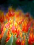 Фото ярких пламенистых тюльпанов Стоковые Изображения