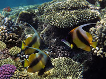 Фото bannerfish колонии коралла и coralfish вымпела Стоковые Изображения