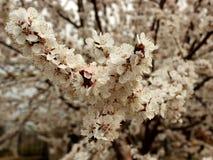 Фото blossoming дерева абрикоса Стоковое Изображение RF