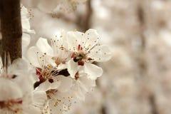 Фото blossoming дерева абрикоса Стоковая Фотография RF