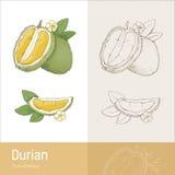 фото durian изолированное плодоовощ тропическое Стоковые Изображения RF