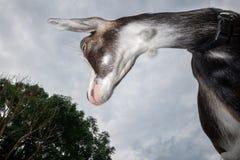 Фото ` s козы, съемка принято от дна стоковые фото