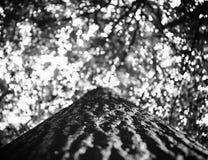 Фото treetop старого дерева в зеленом лесе черно-белом Стоковая Фотография