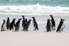 Фолклендские острова - пингвины Magellanic на пляже Стоковое Изображение RF